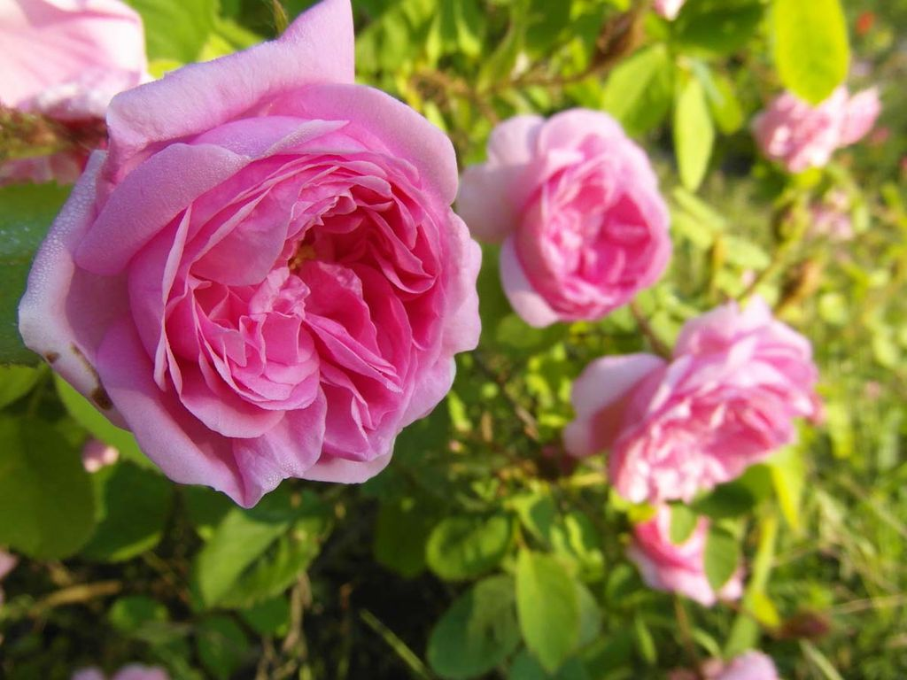 Rose Petals - Happy Be...